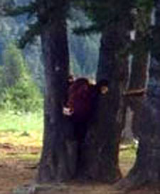 zoomed in picture of cow stuck in tree